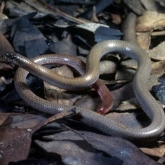 Aprasia parapulchella (Pink-tailed Worm-lizard) at Mount Taylor - 5 Aug 1978 by wombey