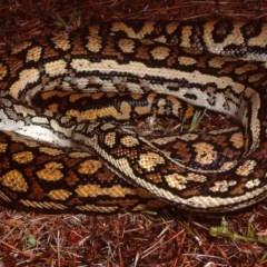 Morelia spilota metcalfei (Inland or Murray-Darling Carpet Python) at South Gundagai, NSW - 14 Jan 1984 by wombey