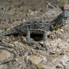 Tympanocryptis lineata (Grassland Earless Dragon) at Hume, ACT - 31 Oct 1991 by wombey