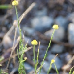 Calotis lappulacea (Yellow burr daisy) at Red Hill Nature Reserve - 16 Jan 2016 by roymcd