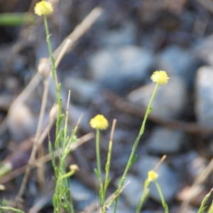 Calotis lappulacea at Red Hill Nature Reserve - 16 Jan 2016