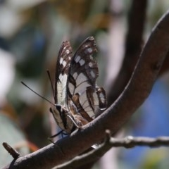 Charaxes sempronius (Tailed Emperor) at Canberra Central, ACT - 17 Jan 2016 by SuziBond