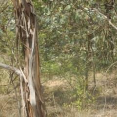 Eucalyptus camphora subsp. humeana (Mountain Swamp Gum) at Waramanga, ACT - 28 Jan 2016 by MichaelMulvaney
