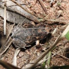 Uperoleia laevigata (Smooth Toadlet) at Wanniassa Hill - 27 Jan 2016 by RyuCallaway