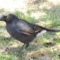Strepera graculina (Pied Currawong) at Conder, ACT - 23 Feb 2014 by michaelb