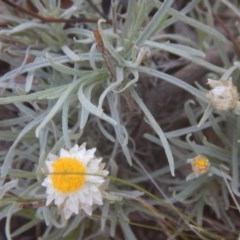 Leucochrysum albicans subsp. tricolor (Hoary Sunray) at Stirling Park - 4 Feb 2016 by MichaelMulvaney