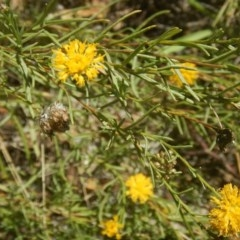 Rutidosis leptorhynchoides (Button wrinklewort) at Stirling Park - 4 Feb 2016 by MichaelMulvaney