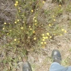 Rutidosis leptorhynchoides (Button wrinklewort) at Attunga Point - 4 Feb 2016 by MichaelMulvaney