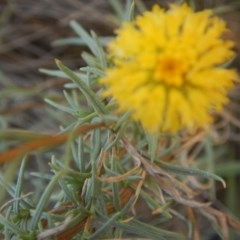 Rutidosis leptorhynchoides (Button wrinklewort) at Blue Gum Point to Attunga Bay - 4 Feb 2016 by MichaelMulvaney