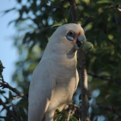 Cacatua sanguinea (Little Corella) at Conder, ACT - 10 Dec 2015 by michaelb