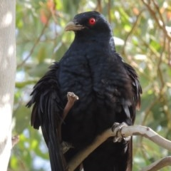 Eudynamys orientalis (Eastern Koel) at Conder, ACT - 12 Dec 2015 by michaelb