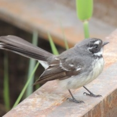 Rhipidura fuliginosa (Grey Fantail) at Jerrabomberra Wetlands - 10 Oct 2014 by michaelb