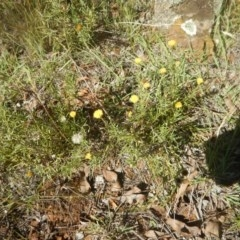 Rutidosis leptorhynchoides (Button wrinklewort) at Red Hill Nature Reserve - 7 Feb 2016 by MichaelMulvaney