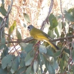Nesoptilotis leucotis (White-eared Honeyeater) at Conder, ACT - 27 Jun 2015 by michaelb
