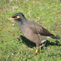 Acridotheres tristis (Common Myna) at Conder, ACT - 8 May 2014 by michaelb