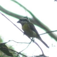 Falcunculus frontatus (Crested Shrike-tit) at Paddys River, ACT - 21 Jan 2016 by RyuCallaway