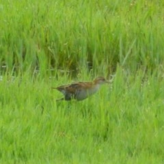 Zapornia pusilla (Baillon's Crake) at Jerrabomberra Wetlands - 5 Jan 2016 by RyuCallaway