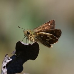 Anisynta dominula (Two-brand grass-skipper) at Mount Clear, ACT - 6 Feb 2016 by SuziBond