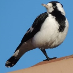 Grallina cyanoleuca (Magpie-lark) at Conder, ACT - 3 May 2014 by michaelb