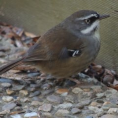 Sericornis frontalis (White-browed Scrubwren) at Molonglo Valley, ACT - 3 Jun 2015 by michaelb
