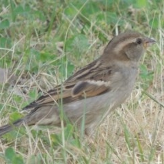 Passer domesticus (House Sparrow) at Conder, ACT - 19 Oct 2014 by michaelb