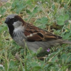 Passer domesticus (House Sparrow) at Conder, ACT - 21 Oct 2014 by michaelb