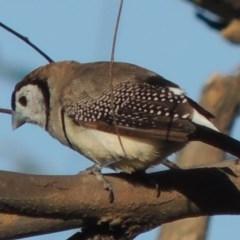 Taeniopygia bichenovii (Double-barred Finch) at Paddys River, ACT - 29 Dec 2015 by michaelb