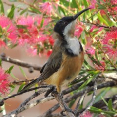 Acanthorhynchus tenuirostris (Eastern Spinebill) at Conder, ACT - 28 Apr 2014 by michaelb