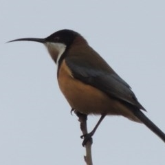 Acanthorhynchus tenuirostris (Eastern Spinebill) at Conder, ACT - 23 Jul 2014 by michaelb