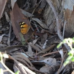 Heteronympha merope (Common Brown) at Wanniassa Hill - 12 Feb 2016 by RyuCallaway