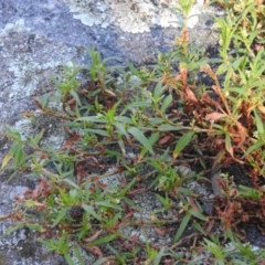 Persicaria prostrata (Creeping Knotweed) at Wanniassa Hill - 12 Feb 2016 by RyuCallaway