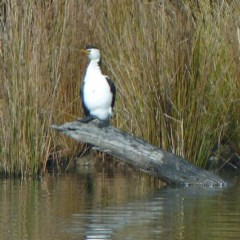 Microcarbo melanoleucos (Little Pied Cormorant) at Tidbinbilla Nature Reserve - 27 Jul 2012 by galah681
