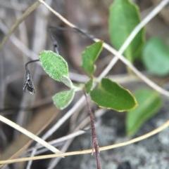 Goodenia hederacea at Aranda Bushland - 14 Feb 2016