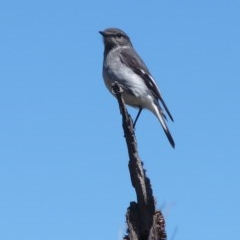 Melanodryas cucullata (Hooded Robin) at Tidbinbilla Nature Reserve - 29 Oct 2011 by galah681