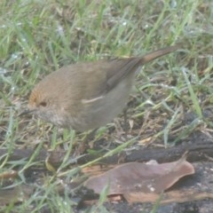 Acanthiza pusilla (Brown Thornbill) at Conder, ACT - 11 Nov 2014 by michaelb