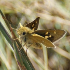Trapezites luteus (Yellow Ochre, Rare White-spot Skipper) at Red Hill Nature Reserve - 17 Feb 2016 by roymcd