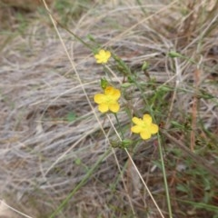 Hypericum gramineum (Small St Johns Wort) at Isaacs Ridge and Nearby - 19 Feb 2016 by Mike