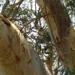 Myiagra rubecula (Leaden Flycatcher) at Kama - 22 Feb 2016 by RichardMilner