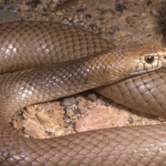 Pseudonaja textilis (Eastern Brown Snake) at Red Hill, ACT - 29 Nov 1985 by wombey