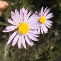 Brachyscome rigidula (Hairy cut-leaf daisy) at Bungendore, NSW - 25 Feb 2016 by yellowboxwoodland