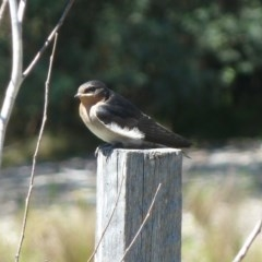 Hirundo neoxena (Welcome Swallow) at Tidbinbilla Nature Reserve - 4 Nov 2011 by galah681