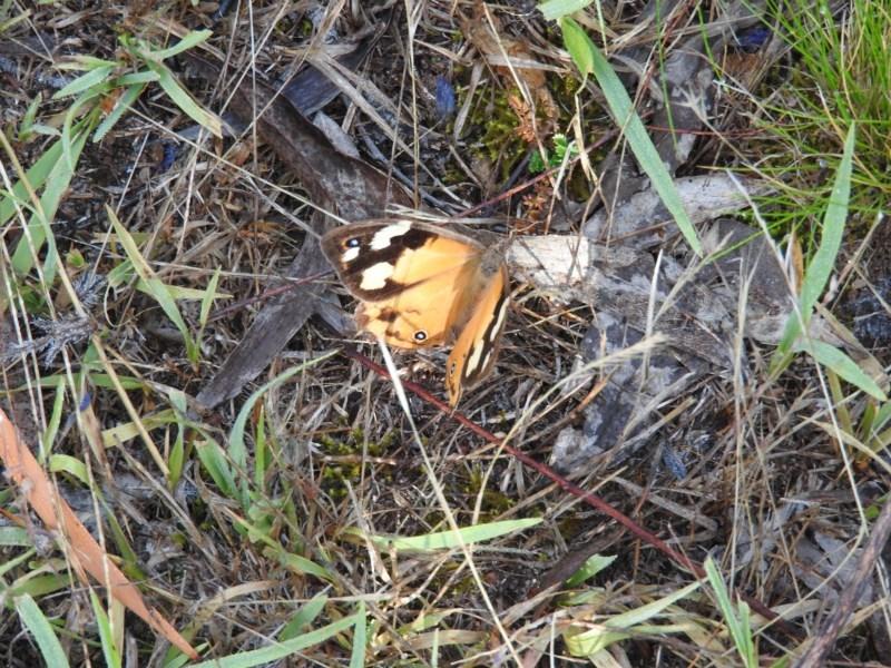 Heteronympha merope at Wanniassa Hill - 5 Mar 2016
