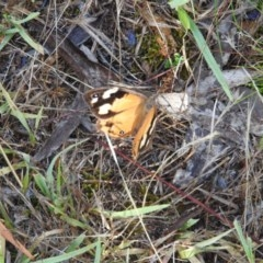 Heteronympha merope (Common Brown) at Wanniassa Hill - 4 Mar 2016 by RyuCallaway