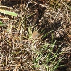 Zizina otis (Common Grass-Blue) at Wanniassa Hill - 4 Mar 2016 by RyuCallaway