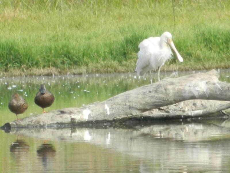Platalea flavipes at Jerrabomberra Wetlands - 5 Apr 2015