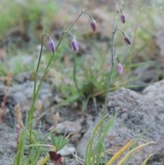 Arthropodium minus (Small Vanilla Lily) at Rob Roy Range - 2 Oct 2014 by michaelb