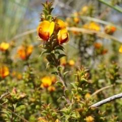 Pultenaea procumbens (Bush Pea) at Black Mountain - 6 Oct 2014 by AaronClausen