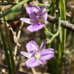 Thysanotus patersonii (Twining fringe lily) at Black Mountain - 5 Oct 2014 by AaronClausen