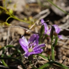 Thysanotus patersonii (Twining fringe lily) at Black Mountain - 6 Oct 2014 by AaronClausen
