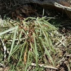 Brachychiton populneus subsp. populneus (Kurrajong) at Mount Mugga Mugga - 6 Mar 2016 by Mike